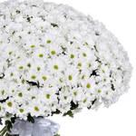 Букет из 101 белой ромашковой хризантемы
